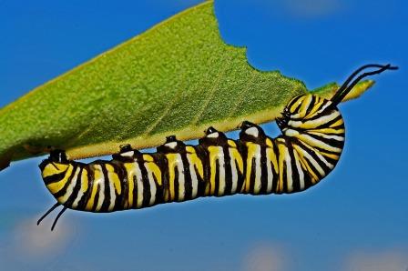 caterpillar-562104_960_720.jpg
